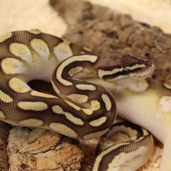 Lesser Pastel Calico Royal Python 1