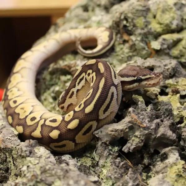 Lesser Pastel Royal Python