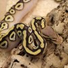 Pastave (Het ghost) Royal Python