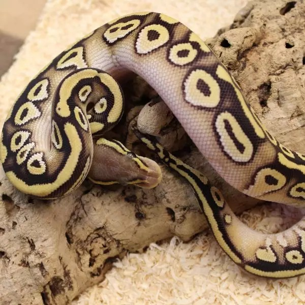 Pastave (Het ghost) Royal Python 1