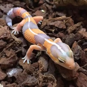 Tangerine Albino African Fat Tailed Gecko