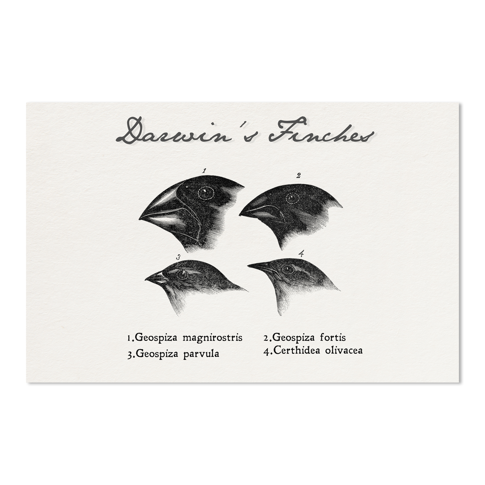 Darwin S Finches Drawings 11 X 17 Poster