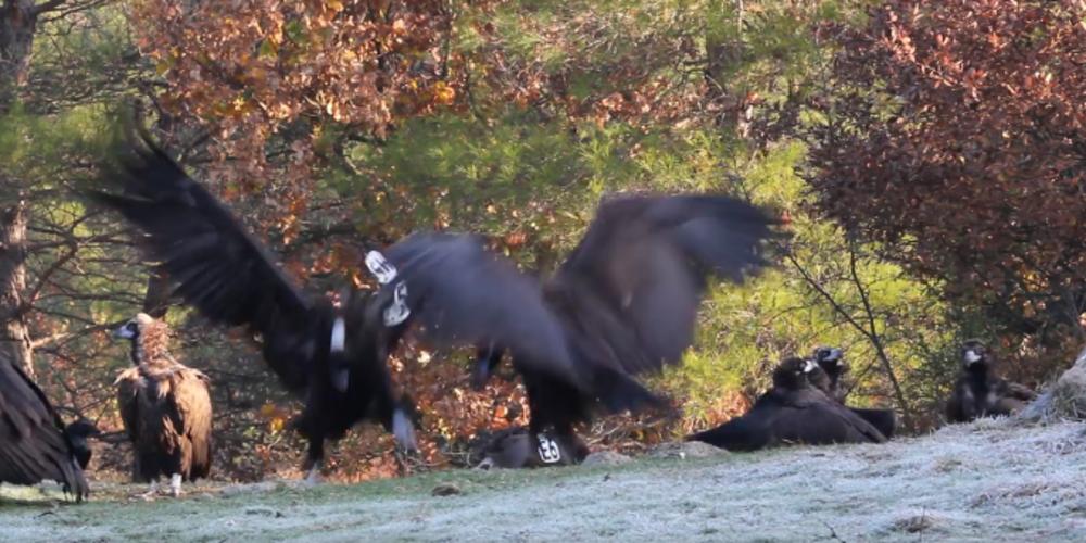 Εντυπωσιακό video. Άγρια αρπακτικά του Δάσους Δαδιάς κατά το τάισμα τους