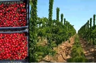 Ο Έβρος έχει τη δική του Κερασοχώρα, με πεντανόστιμα τραγανά κεράσια στη Στέρνα (ΒΙΝΤΕΟ)
