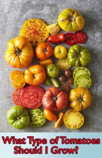 What Type of Tomatoes Should I Grow?
