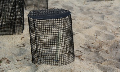 Turtle eggs buried deep into the sand, protected by iron cages
