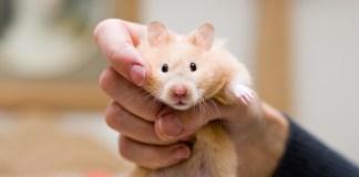 light brown mice