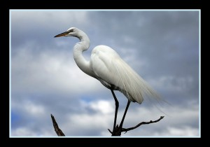 Great White Heron, 2009, Kashyap Hosdurga