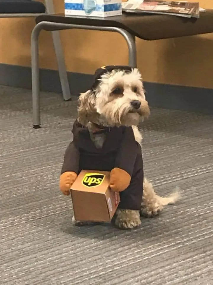 Patron the dog dressed as a UPS employee carrying a small package