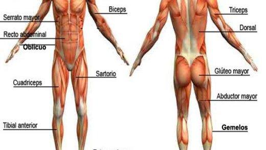 los musculos Conociendo nuestro cuerpo, los Músculos