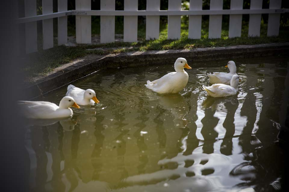 Geese in the castle fountain
