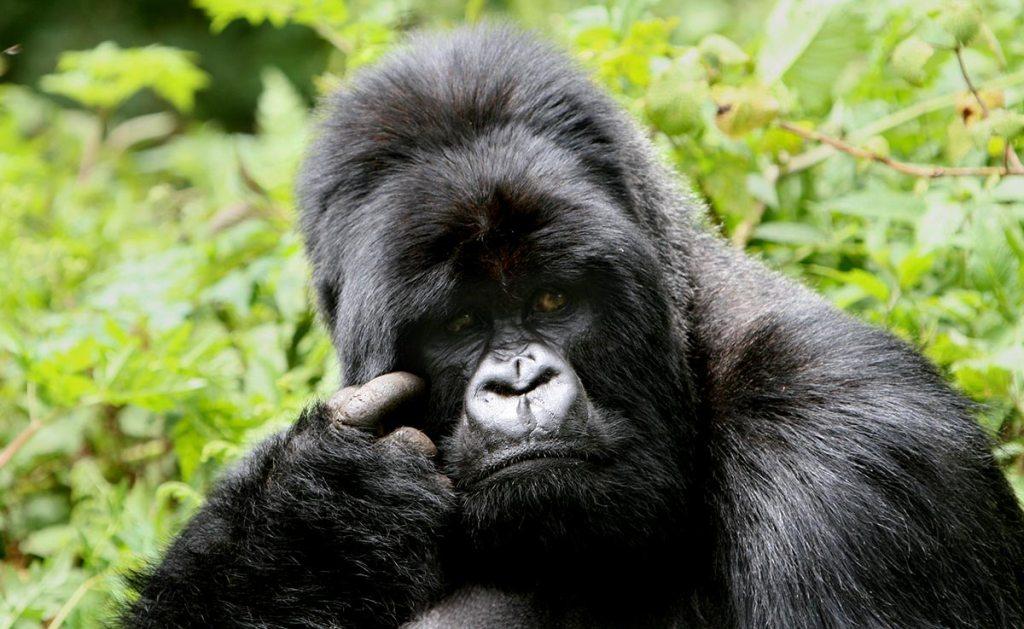 mountain gorilla social life - silverback male gorilla
