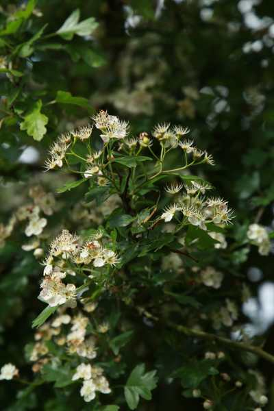 arbuste aubépine fleurs blanches