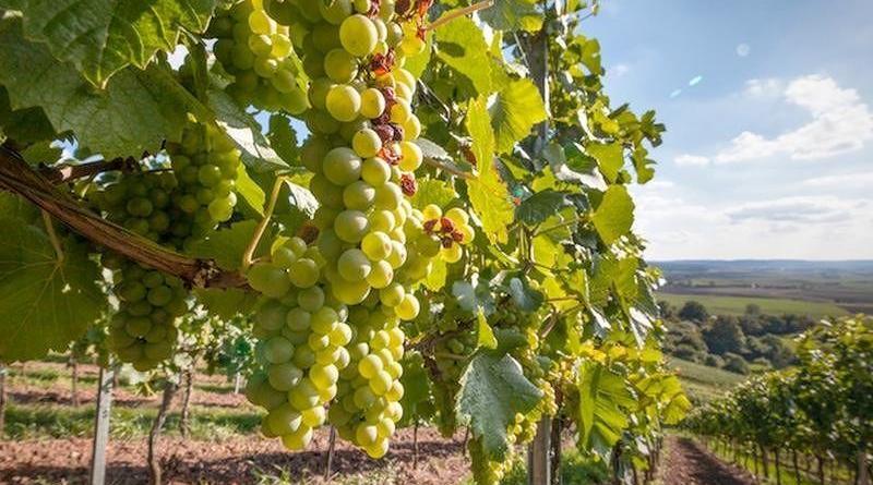 Emergenza Covid-19: In Calabria al via la vendemmia verde