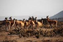 Viele Lamas (Llamas)