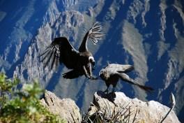 Condor Landung