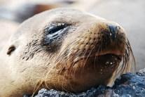 Seelöwe Closeup