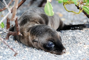 Seelöwen Baby 2