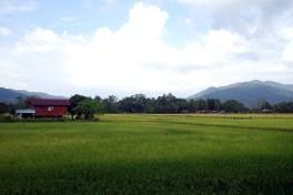 Langkawi - Reisfelder