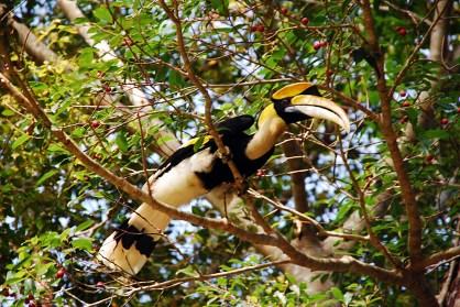 Langkawi - Hornbill