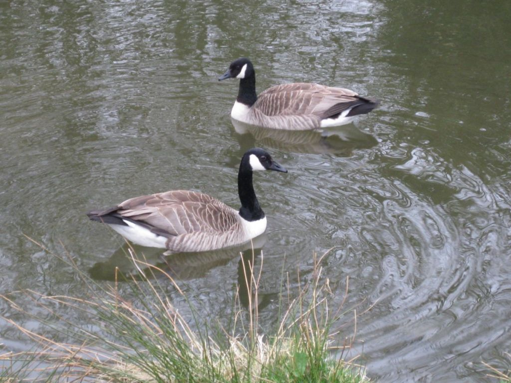 Canada Geese are frequent visitors to West Withy Farm lake