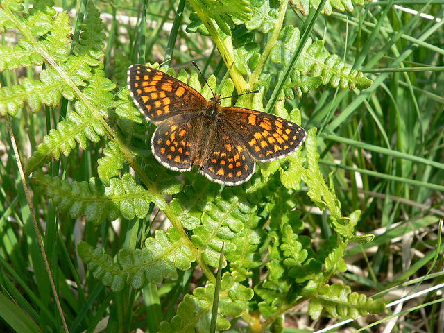 Heath Fritillary Butterfly, Exmoor