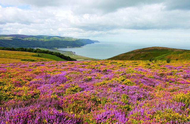 Heather moorland with Porlock Bay - Exmoor