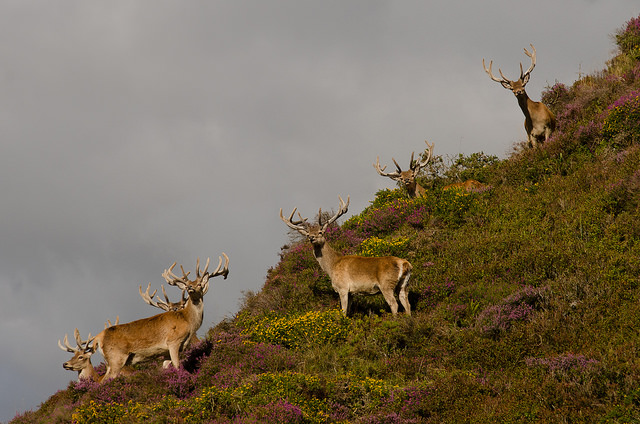 Red Deer Stags, Cornham, Exmoor