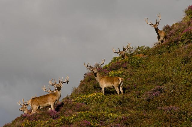 Red Deer Stags, Cornham, Exmoor
