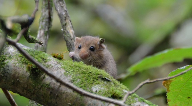 HELP GIVE A DORMOUSE A HOME