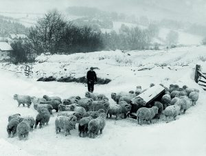 Gerald and flock at Winstitchen during the bad winter of 1962/3.