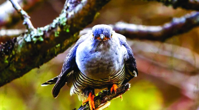 HAVE YOU HEARD A CUCKOO YET?
