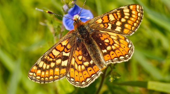 BUTTERFLY POPULATIONS BOUNCE AS LOCAL PROJECT IS CELEBRATED IN NATIONAL AWARDS