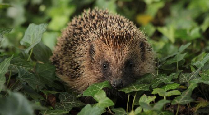 COUNCIL CONTRACTORS BECOME 'HEDGEHOG HEROES'