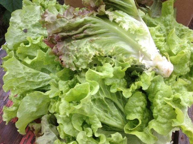lettuce.PG