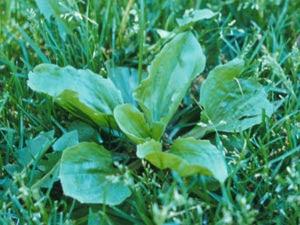 broadleafplantain-300