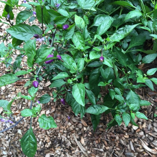 Tiny purple hot peppers.