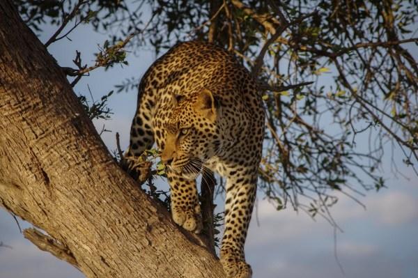 botswana-postleopard