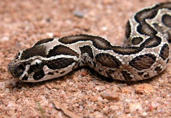 https://i2.wp.com/www.exotic-animals.org/kace/opis_vrst/redlion_moreliaviridis_2006_novi_opisi/DABOIA_RUSSELLI/daboia.jpg?w=710