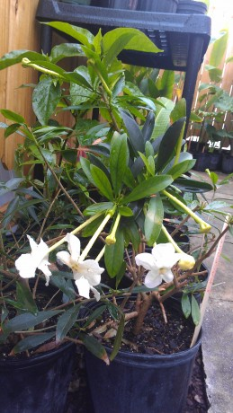 Whats In Stock Current Tropical Plants Photos Exotica