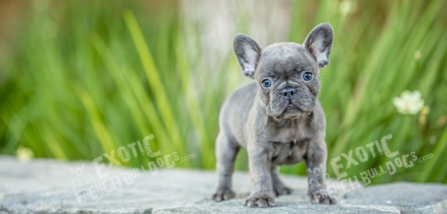 exotic french bulldogs - exotic french bulldogs, french bulldog