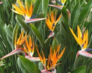 Buy Strelitzia reginae Strelitzia reginae online UK