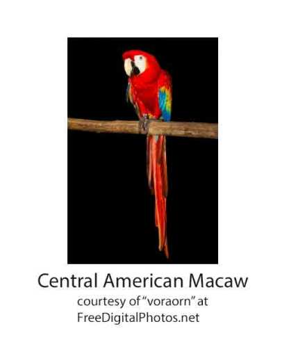 Central American Macaw