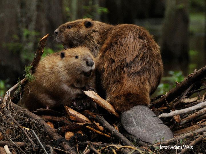 Dabar (beaver)