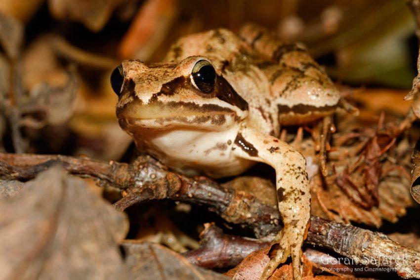 Lombardijska smeđa žaba (Italian agile frog)
