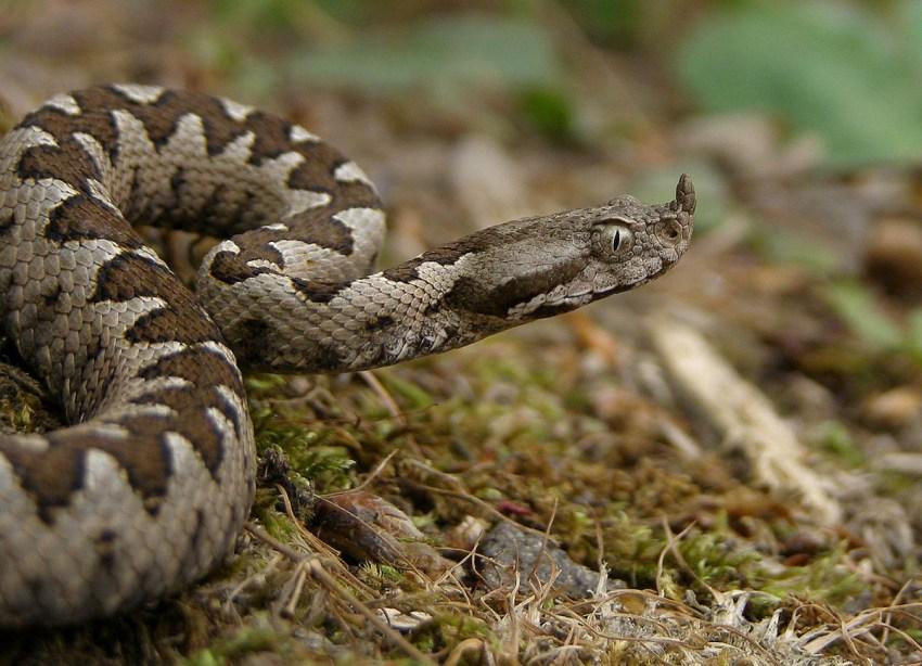 Poskok (Horned viper)