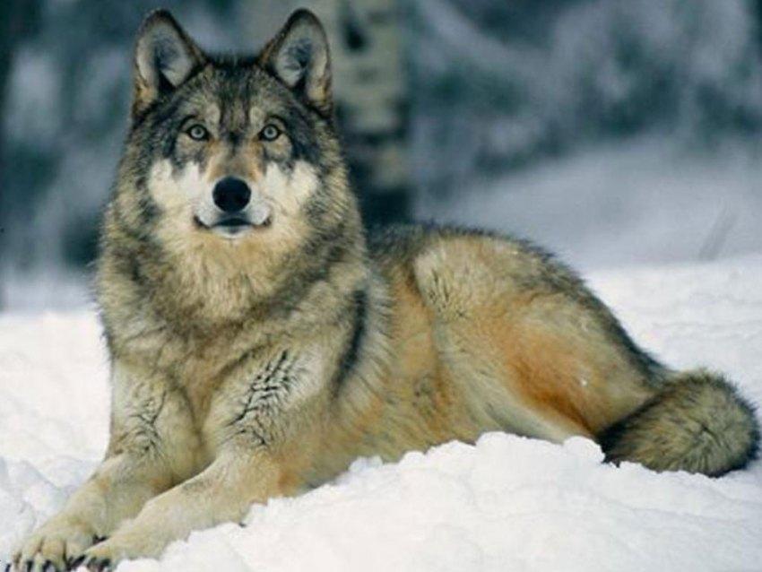 Sivi vuk (wolf)