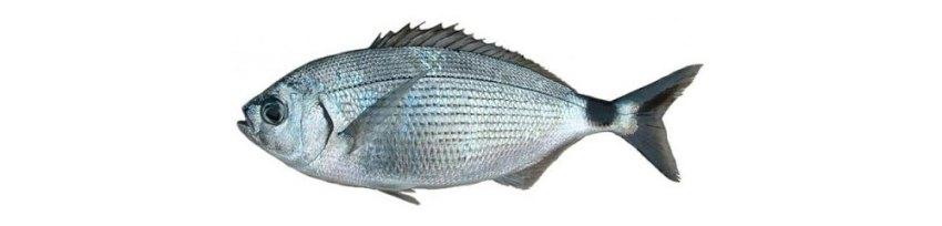 Ušata fish in Croatia
