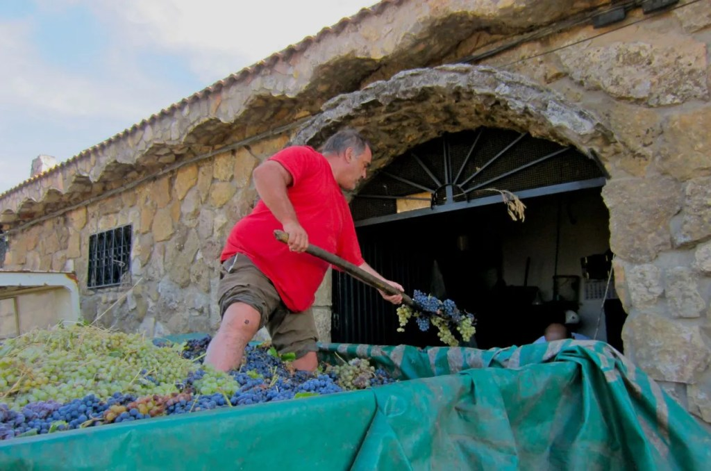 worker unloading grapes to make wine, el molar