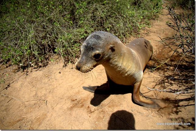 Un lion de mer s'interesse à mon appareil photo, Galapagos, Equateur.